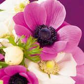 Cartoleria Biglietto d'auguri Beyler-Anémones Roses Dans Bou Sin Adesso