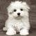 Giocattolo Puzzle cucciolo di Maltese Ravensburger 1