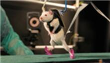 In Experiments With Rats