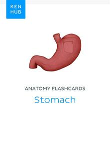 Anatomy flashcards: Stomach