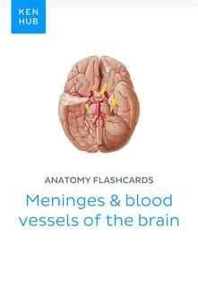 Anatomy flashcards: Meninges & blood vessels of the brain