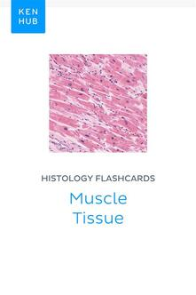 Histology flashcards: Muscle Tissue