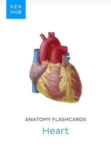 Anatomy flashcards: Heart