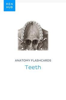 Anatomy flashcards: Teeth