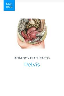Anatomy flashcards: Pelvis