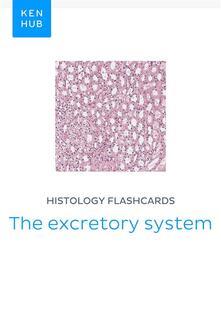 Histology flashcards: The excretory system