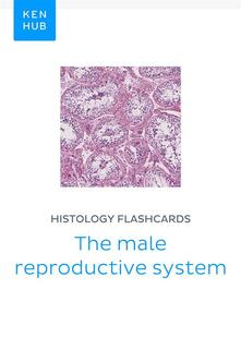 Histology flashcards: The male reproductive system